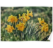 Bunch of Daffs Poster