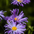 Blue Daisies by redfibres