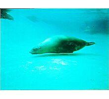 Seal -  Aquarium - Melbourne, Vic Photographic Print