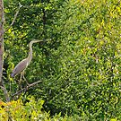 Great Blue Heron - Ottawa, ON by Josef Pittner