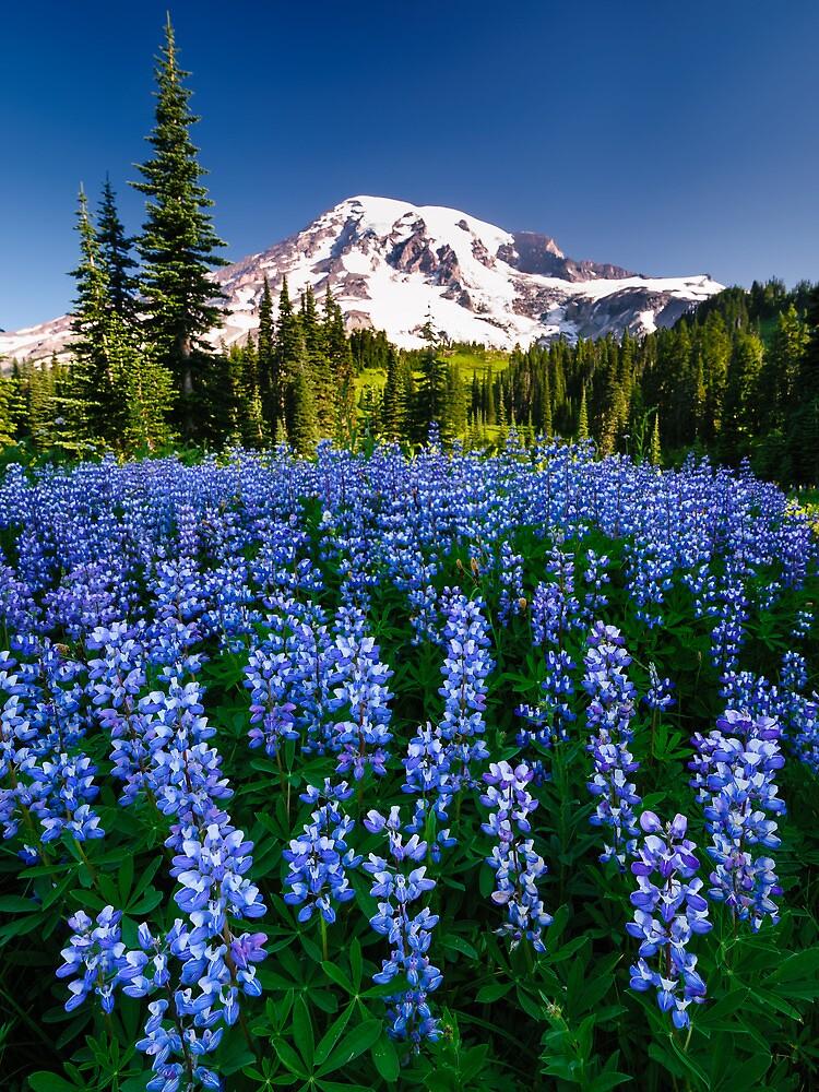 Rainier Wears Blue by Dan Mihai