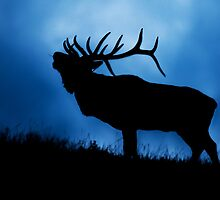 Bull Elk Bugling During the Rut by Jim Stiles