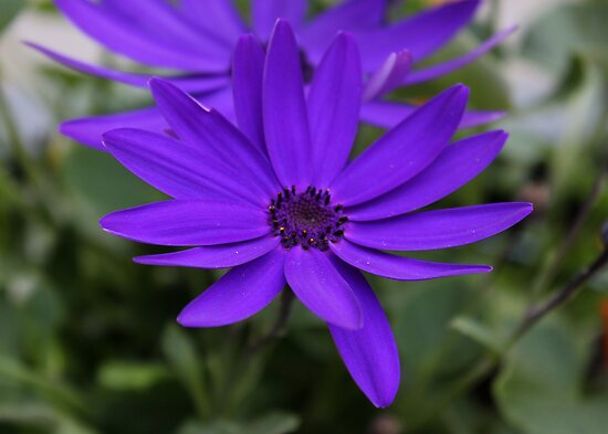 Purple Daisies by AnnDixon