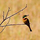 Little  Bee-eater - ( Merups pusillus ) Lake Nadutu Serengeti Tanzania by john  Lenagan