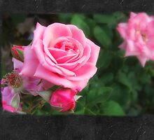 Pink Roses in Anzures 1 Blank P4F0 by Christopher Johnson