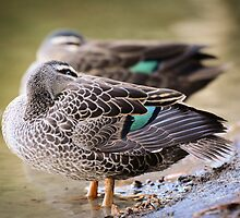 Pacific Black Duck by wildwhiskers