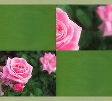 Pink Roses in Anzures 1 Blank Q5F0 by Christopher Johnson