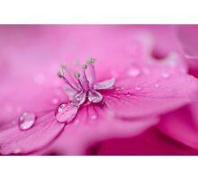 Pink Hydrangea Photographic Print
