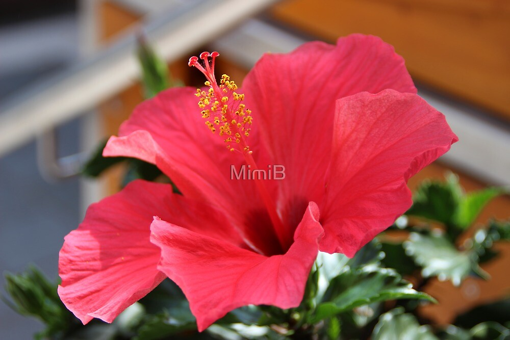 Red clematis by MimiB