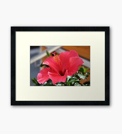 Red clematis Framed Print