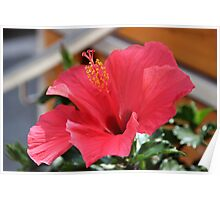 Red clematis Poster