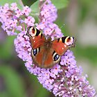 peacock butterfly by MimiB