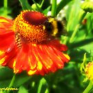 Helenium by thepicturedrome