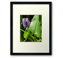Pickerelweed Framed Print