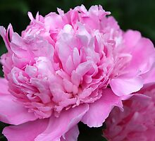 Pink Peony  by vbk70