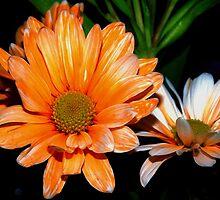 Orange and white streaked daisies by ♥⊱ B. Randi Bailey
