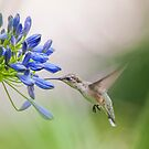 Hummingbird on Agapanthus by Bonnie T.  Barry