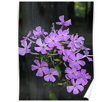Purple Posies Poster