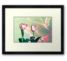 Pink Tulips Painted with Light Framed Print