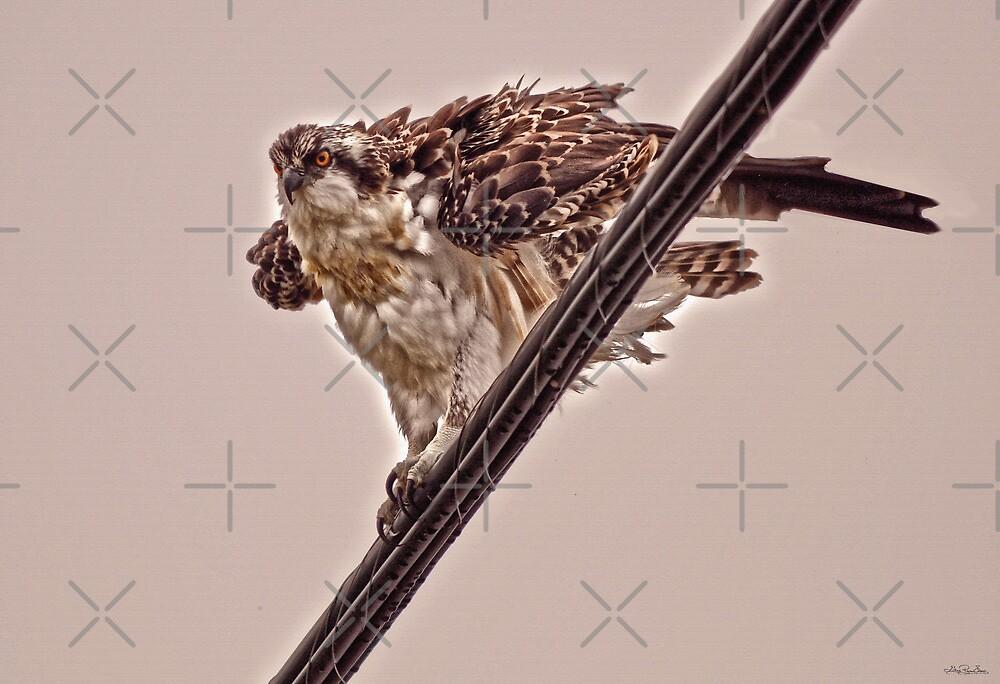 Osprey Portrait IV by Skye Ryan-Evans