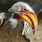 ARE YOU TALKING TO ME? - Southern Yellow-billed Hornbill - Tockus leucomelos - Geelbekneushoringvoel by Magaret Meintjes