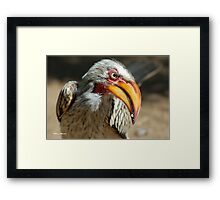 ARE YOU TALKING TO ME? - Southern Yellow-billed Hornbill - Tockus leucomelos - Geelbekneushoringvoel Framed Print
