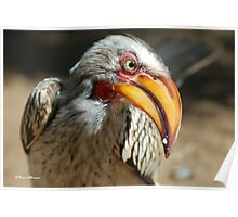ARE YOU TALKING TO ME? - Southern Yellow-billed Hornbill - Tockus leucomelos - Geelbekneushoringvoel Poster