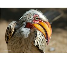 ARE YOU TALKING TO ME? - Southern Yellow-billed Hornbill - Tockus leucomelos - Geelbekneushoringvoel Photographic Print