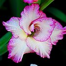 Glad to be a Gladiola  by Tori Snow