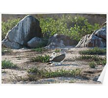 Blue Footed Booby with two chicks Poster