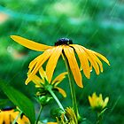 Black Eyed Susan in the Summer rain by Tori Snow