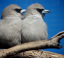 Pair of Woodswallows by D-GaP