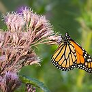 Monarch On Joe Pye Weed 2013-1 by Thomas Young
