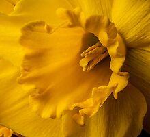 Daffodil by Leigh Metzroth