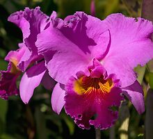 Majestic Pink Cattleya Orchid Bloom by Kerryn Madsen-Pietsch