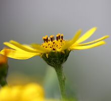Yellow daisy by fourthangel