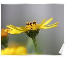 Yellow daisy Poster