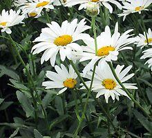 lovely daisies by margaret hanks