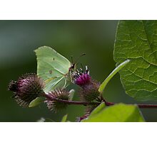 Brimstone Butterfly.. Photographic Print