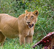 Lioness with her prey 2 by Valerija S.  Vlasov