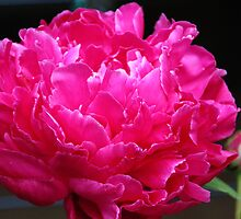 Pink Peony III by vbk70