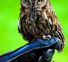 Tiny Owl by PenguinPlot