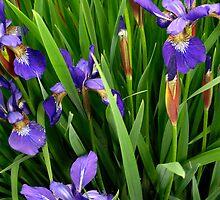 Purple Iris by Jane Jenkins