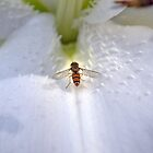 Lonely bee by Stephen Fisher