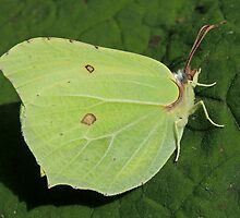 Brimstone Butterfly 03 by Magic-Moments