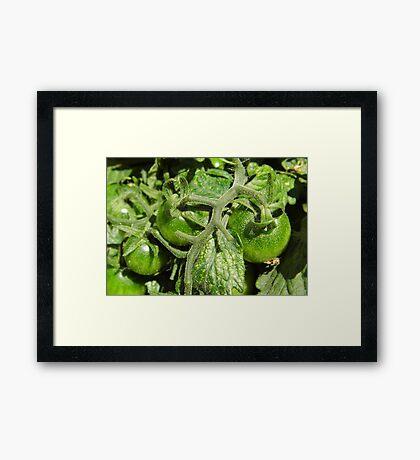 Arkansas Tomatoes Framed Print