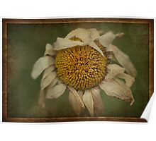 Wilted Daisy Poster