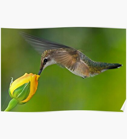 Taste of Roses - Female Ruby Throated Hummingbird Poster