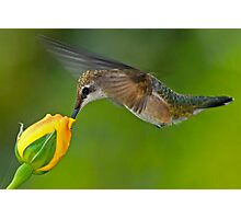 Taste of Roses - Female Ruby Throated Hummingbird Photographic Print
