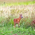 Roe Deer Buck by Margaret S Sweeny